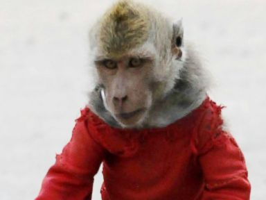Check Out How This Monkey Gets Around