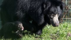 A sloth bear runs around with its mother
