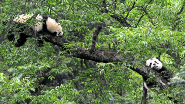 NC panda mar 140513 16x9 608 Wanted: Panda Caretakers at $32K, Plus Incidentals