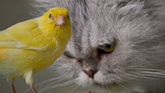 An unlikely bond between a canary and a cat