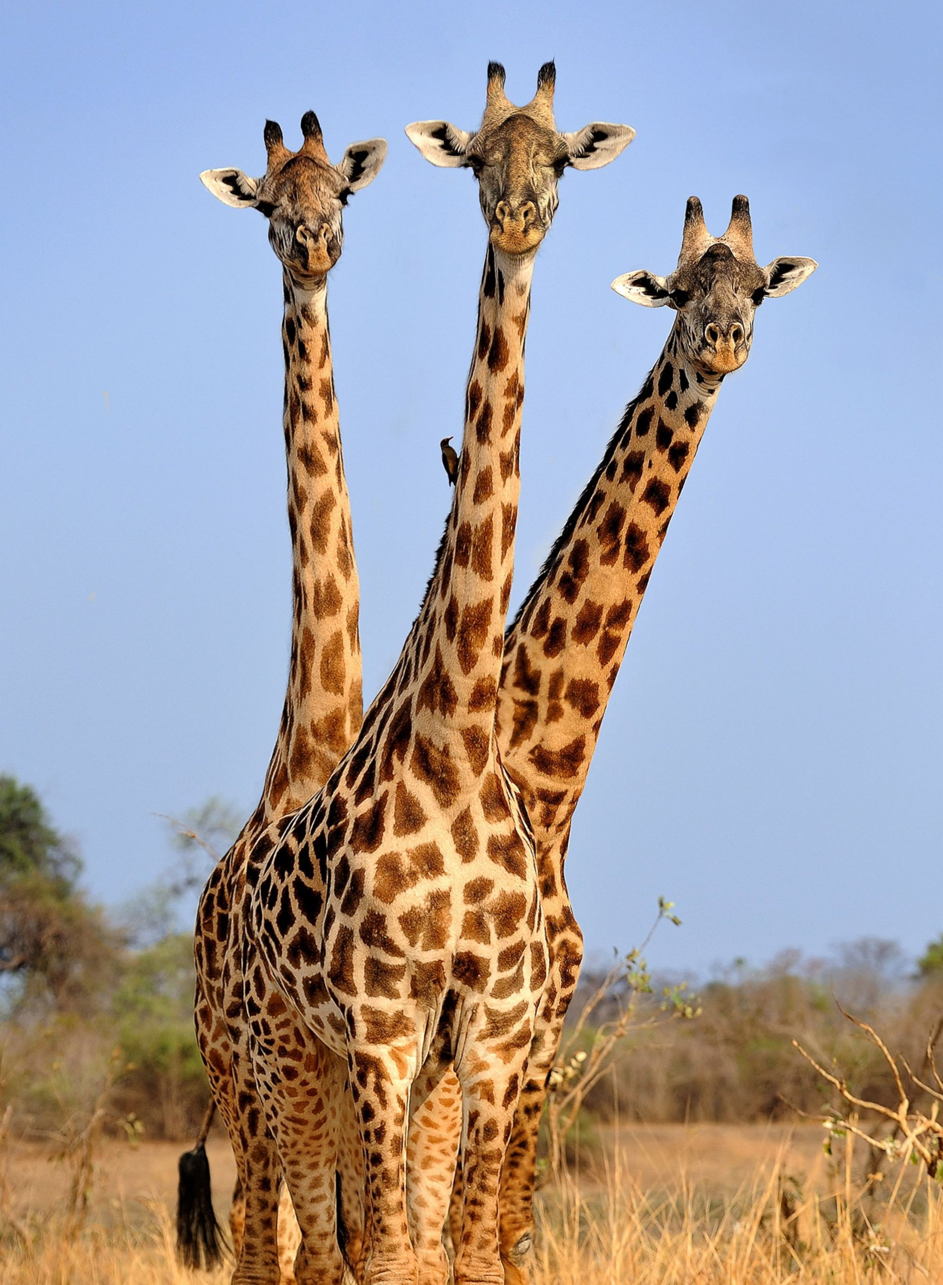 A giraffe appears to have three heads