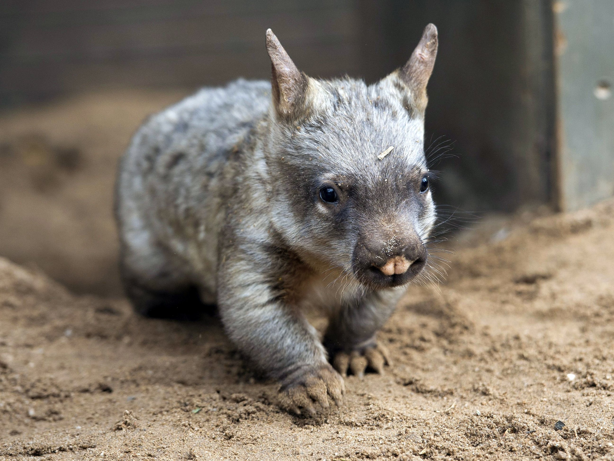 Meet Jedda, the Baby Wombat
