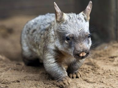 Meet Jedda, the Baby Wombat