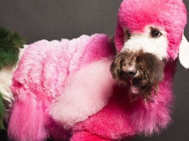 Photos: Poodles Become Colorful Work of Art