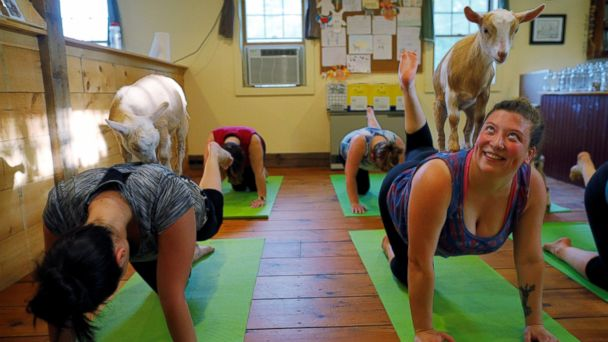 PHOTO: Goats climb on students during a yoga class with eight students and five goats at Jenness Farm in Nottingham, N.H., on May 18, 2017.