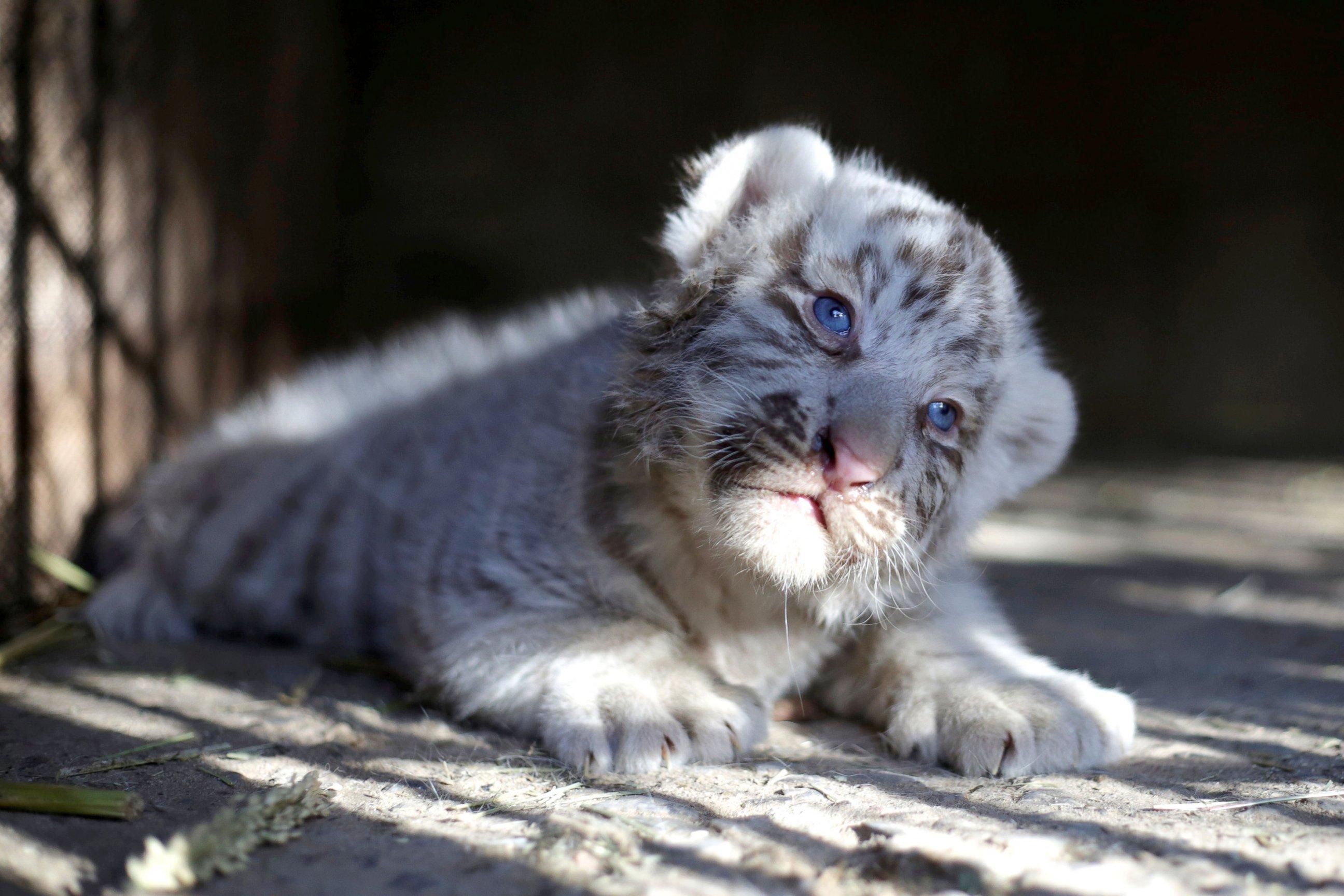 A Siberian tiger cub with mesmerizing blue eyes