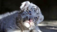 A Siberian tiger cub with mesmerizing blue eyes