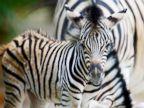 A zebra poses for the camera