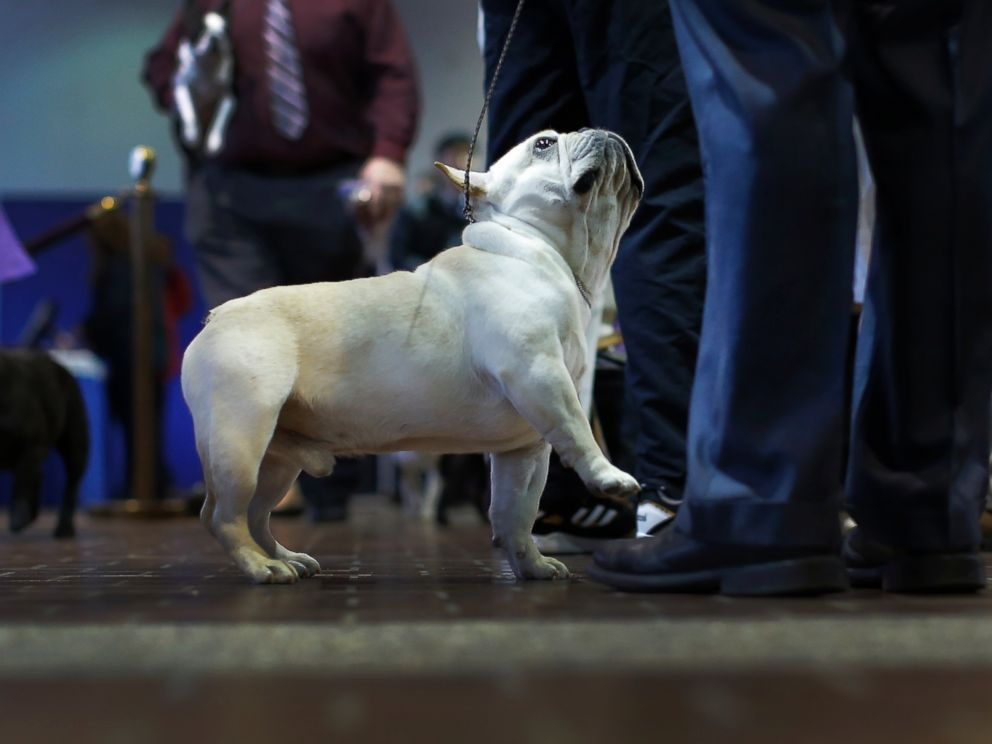 PHOTO:A French bulldog looks up at his handler before judging at the 2016 Westminster Kennel Club Dog Show, Feb. 15, 2016, in New York.