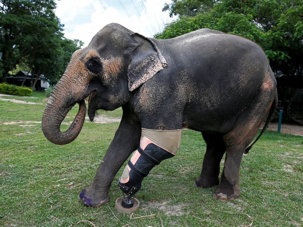 PHOTO: Motola, the elephant that was injured by a landmine, wears her prosthetic leg at the Friends of the Asian Elephant Foundation in Lampang, Thailand, June 29, 2016.
