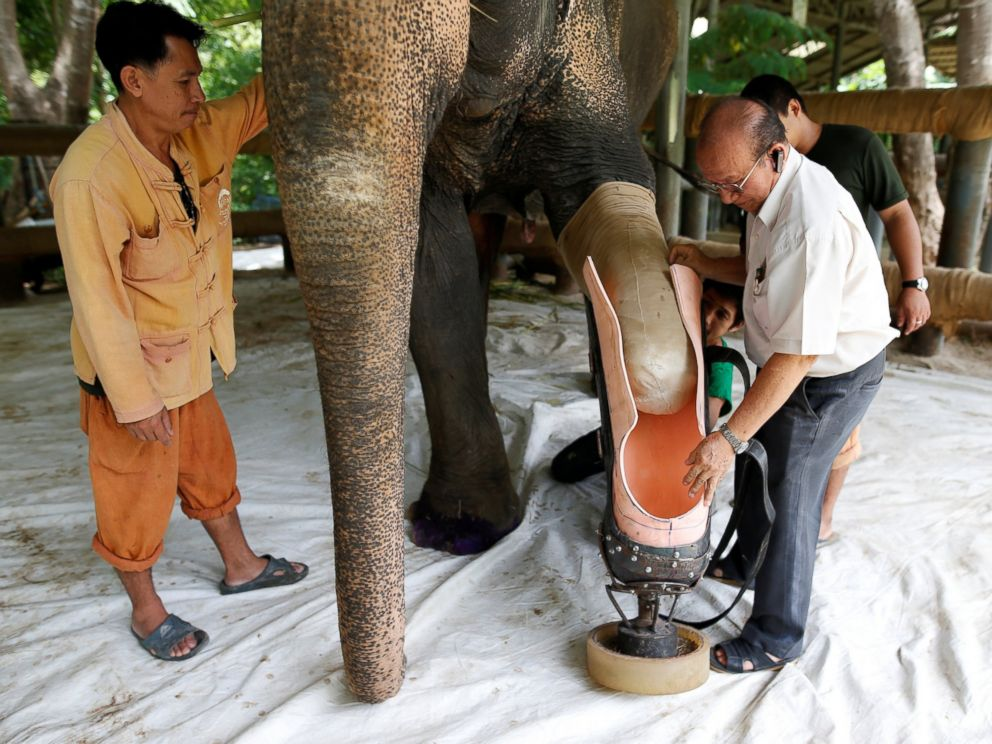 PHOTO: Motola, the elephant that was injured by a landmine, has her prosthetic leg attached at the Friends of the Asian Elephant Foundation in Lampang, Thailand, June 29, 2016.