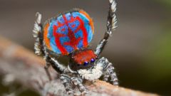 PHOTO: New Species of Spider Shows Off Its Colors
