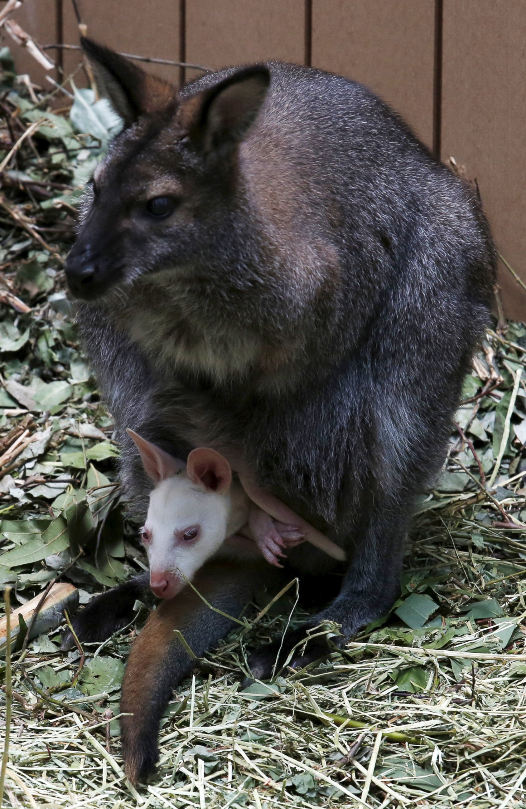 Baby Wallaby Emerges From Moms Pouch