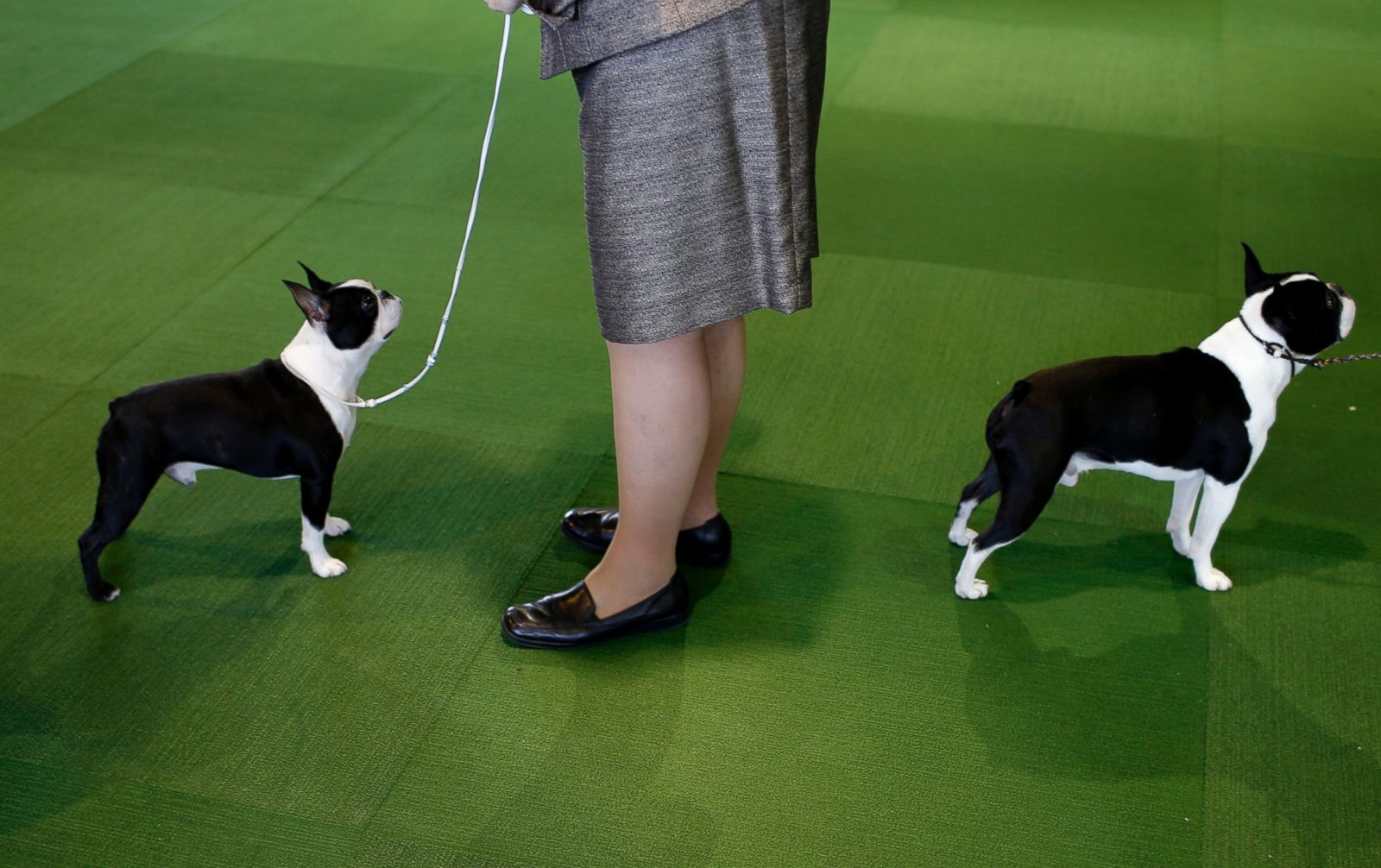 What group is boston terrier in westminster