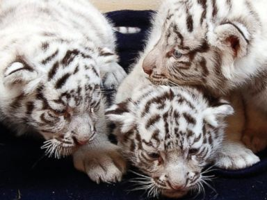 These White Tiger Cubs Are the Most Adorable Thing You'll See All Day