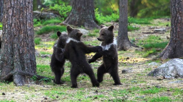 SN RING of bears kb 131122 16x9 608 Cute Alert! Bear Cubs Play Ring Around the Rosie in Forest