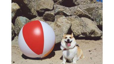 PHOTO: Heaven is 634 Corgis Having a Party on the Beach