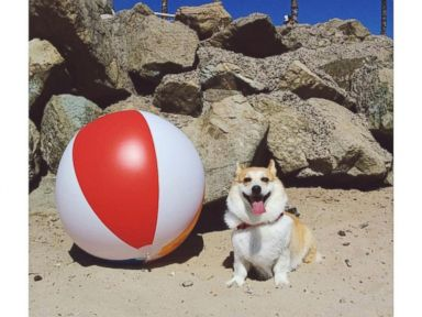 PHOTO: Heaven is 634 Corgis Having a Party on the Beach