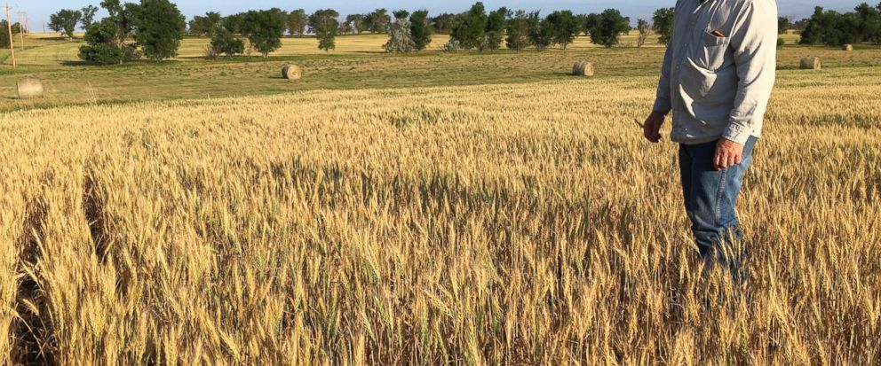 In this July 13, 2017, photo, farmer John Weinand surveys a wheat field near Beulah, N.D., that should be twice as tall as it is. Drought in western North Dakota this summer is laying waste to crops _ some of which wont even be worth harvesting. (AP
