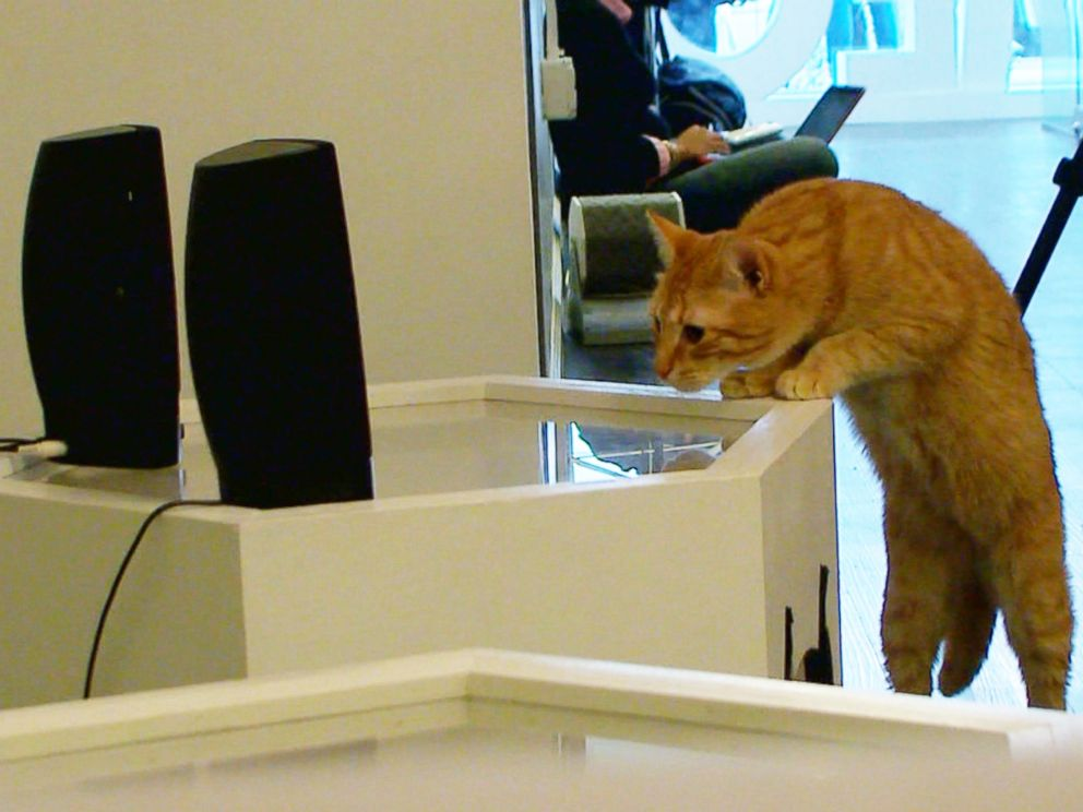 PHOTO: A cat jumps up next to speaker in Meow Parlour in New York City on March 27, 2015.