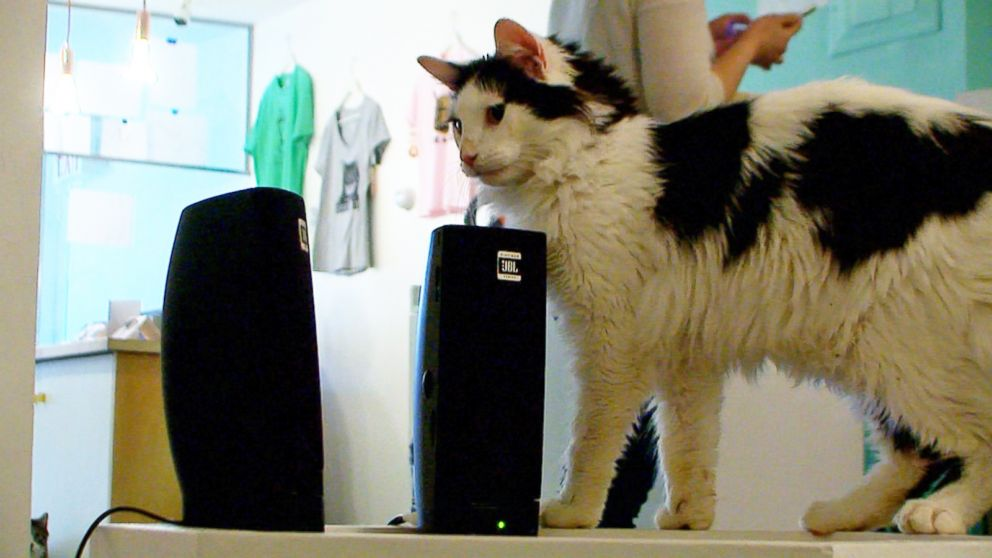 PHOTO: A resident of Meow Parlour, a cat cafe in New York City, pauses next to speakers on March 27, 2015.