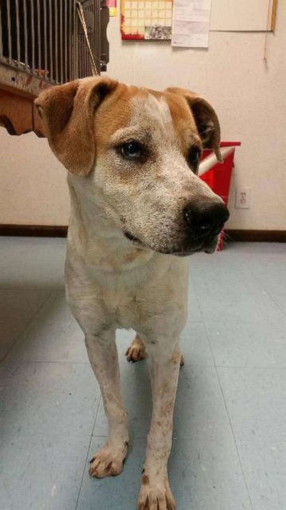 PHOTO: Henry is a 3-year-old coonhound mix, living at Animal Ark Rescue in Columbus, Georgia.