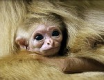 Baby Gibbon Sneaks a Peek