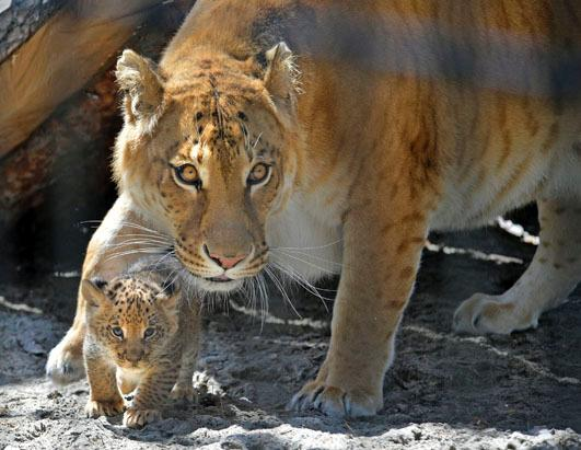 Adorable Liger Cubs Make Their Debut