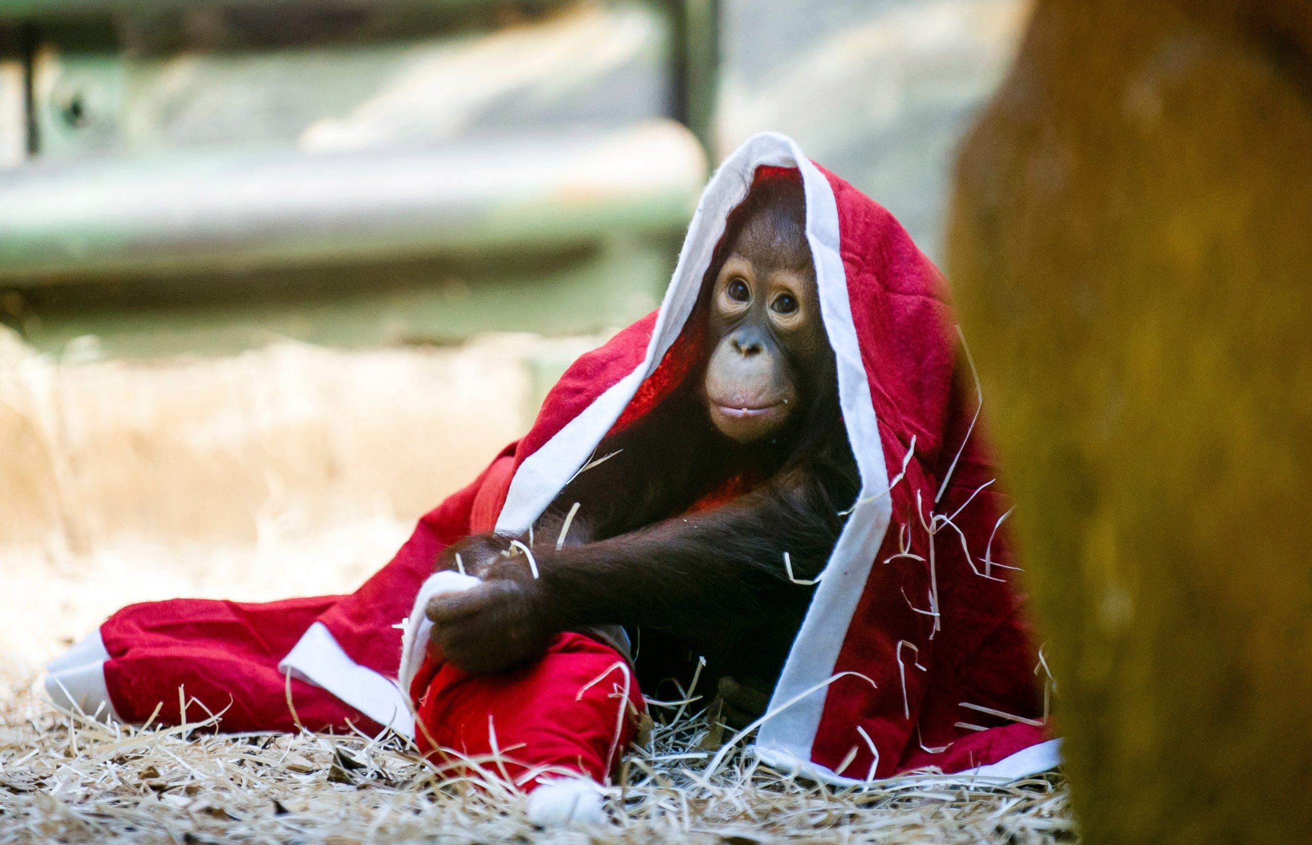 Baby Orangutan Goes Undercover to Ape St. Nick