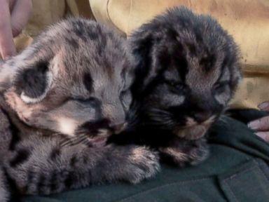Cute Cubs Escape Wildfire