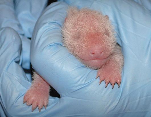 ADORABLE ALERT! Baby Panda Debuts!
