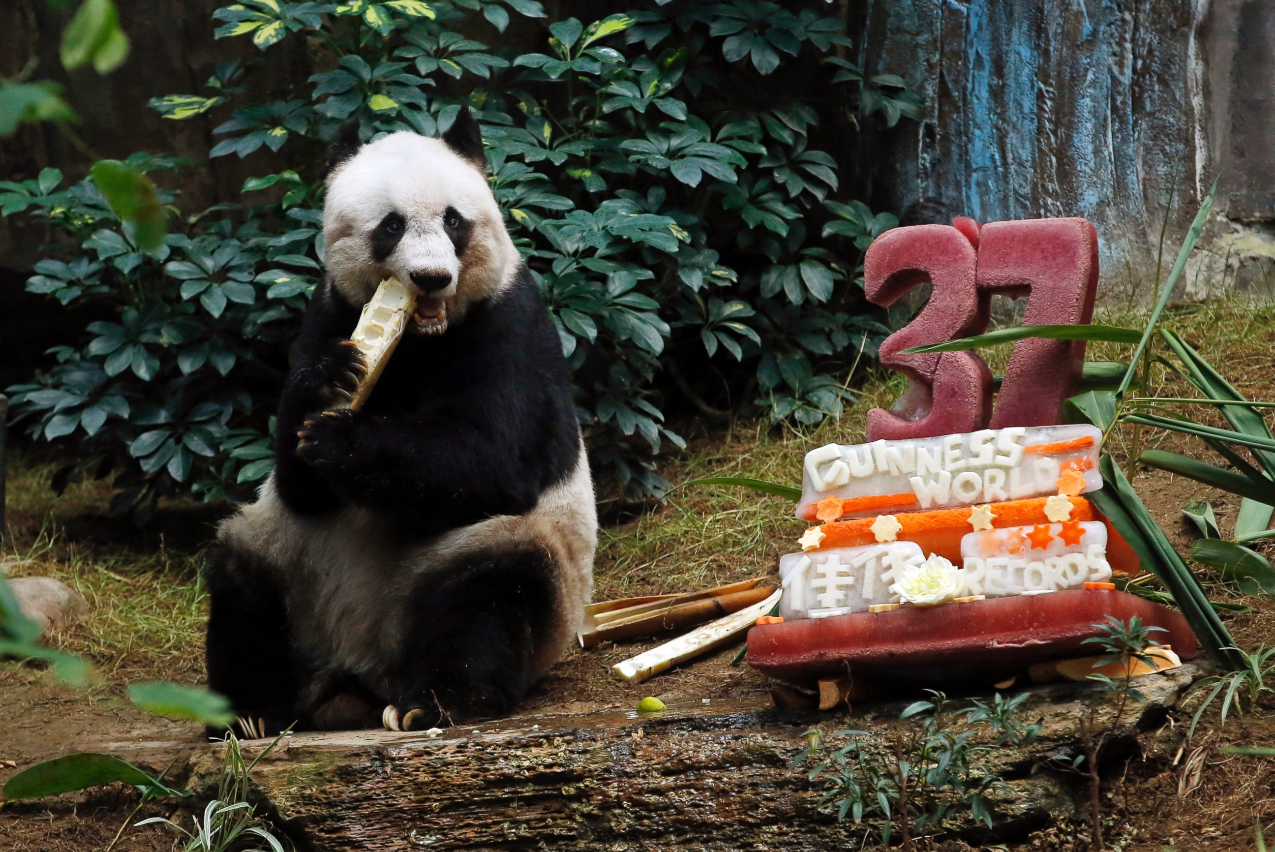 See the World's Oldest Panda Celebrate Her Birthday