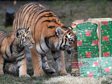 Tigers receive gifts from St. Nick