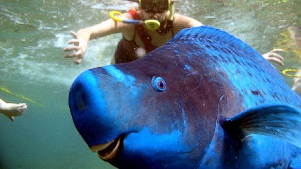 cn parrotfish photobomb kb 140708 2 16x9 608 Super Smiley Parrotfish Photobombs Unsuspecting Snorkeler