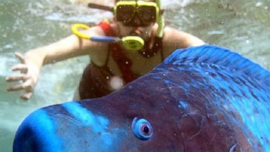 Extremely Happy Parrotfish Photobombs Unsuspecting Diver