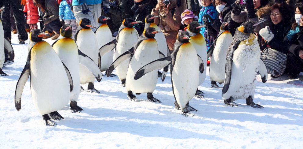 PHOTO: Crowds of people watch the hugely popular Penguin Walk at Asahiyama Zoo in Asahikawa, Japan.