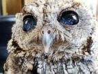 Blind Owl Has Stars in His Eyes