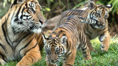 'PHOTO: Jeda and Anala are the first tigers ever born1_b@b_1Walt Disney World's Animal Kingdom.' from the web at 'http://a.abcnews.com/images/Lifestyle/cubs4-ht-mem-171213_16x9t_384.jpg'