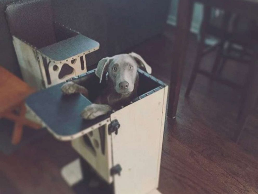 PHOTO: Tink, a 1-year-old silver Labrador who was diagnosed with an esophagus condition, uses a special high chair which keeps her vertical and allows the food to move into her stomach.