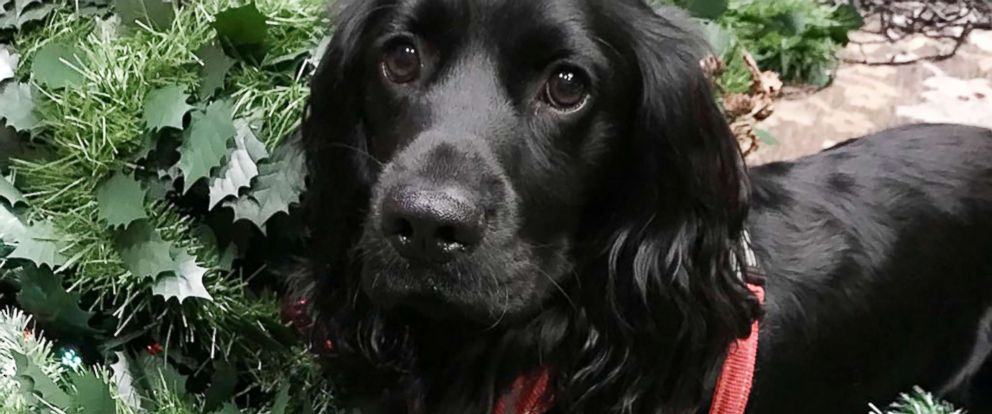 PHOTO: Truffle is an 18-month-old working cocker spaniel, living in York, U.K. with his mom, Jo Ellery.