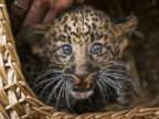 Leopard Cub Chills in a Basket