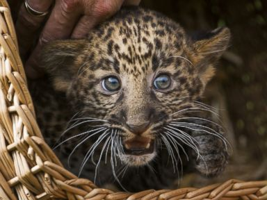 Leopard Cub Chills in a Basket