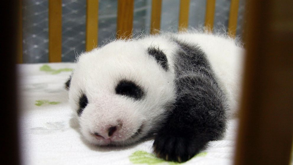 PHOTO: A newborn female giant panda