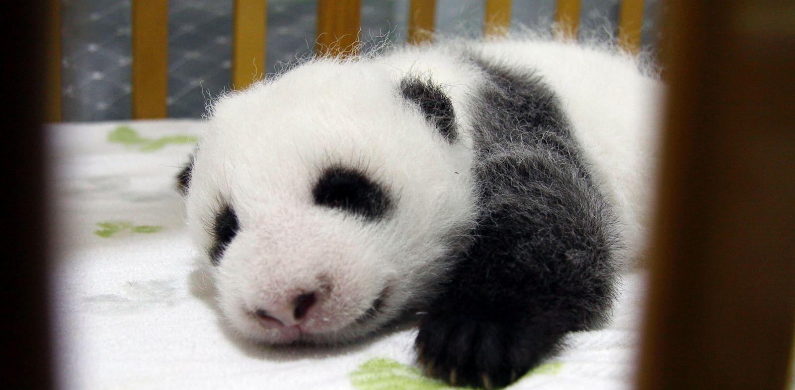 PHOTO: A newborn female giant panda