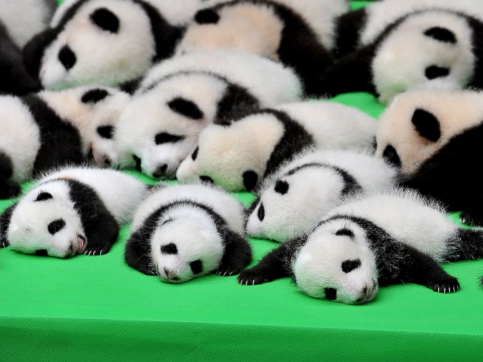 Silly Baby Panda Falls Flat on Its Face During Public Debut of 23 ...