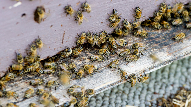 PHOTO: A beehive in Elmwood Ontario is shown. David Schuit owns Saugeen Country Honey and has noticed the deaths of many of his bees. He believes it is because the Neonicotinoid type of insecticides that is used on corn all around his bee yards.