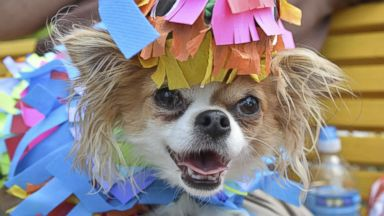 PHOTO: A costumed Chihuahua poses during the Fourth Annual Running of the Chihuahuas for Charity! in Washington, May 3, 2015.