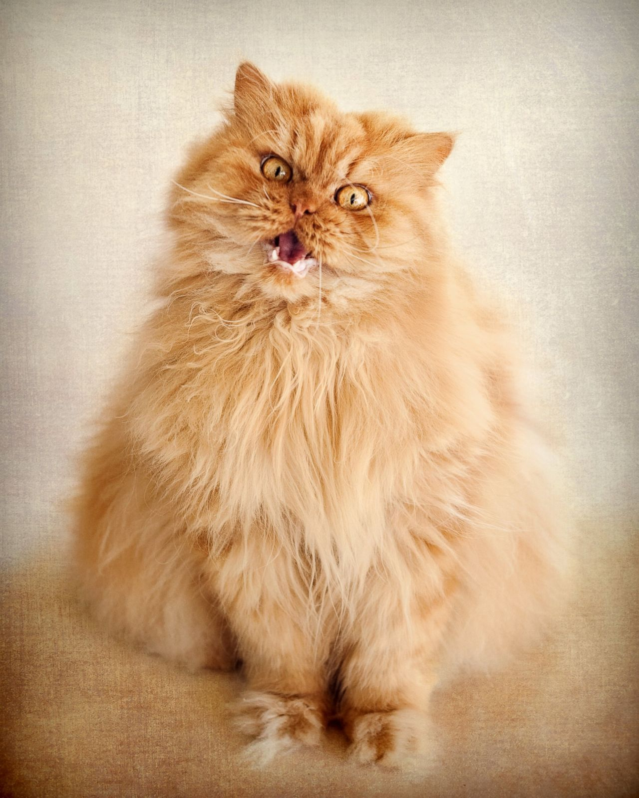 Garfi The Angriest Cat Photos ABC News - Garfi is officially the worlds angriest cat