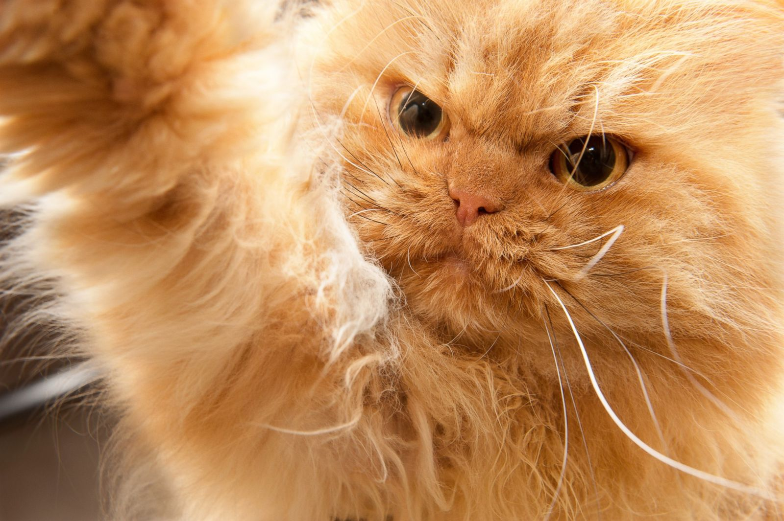 Garfi The Angriest Cat Photos Image ABC News - Garfi is officially the worlds angriest cat