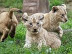 Three Cute Cubs Chill Out Together